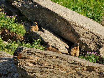 les marmottes devant le refuge