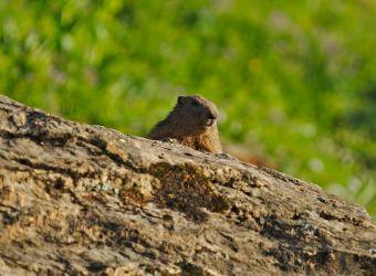 petite marmotte curieuse devant la terrasse